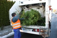 Bild: Ein Weihnachtsbaum wird durch einen Mitarbeiter der Nordharz Entsorgung GmbH in ein Entsorgungsfahrzeug geladen.